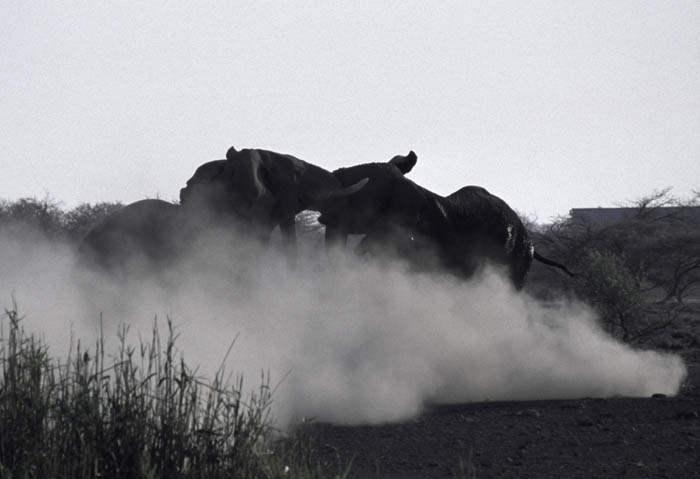 Two male elephants skirmishing. Namibia, 1999